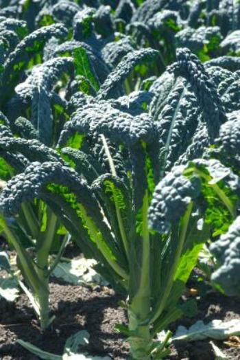 Healthy Kale