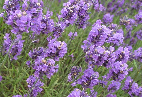 culinary lavender, whats cooking america, Beautiful flower
