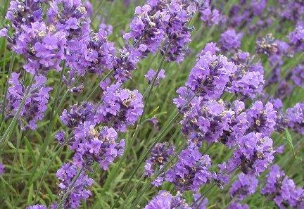 Lavender Meringue Cookie