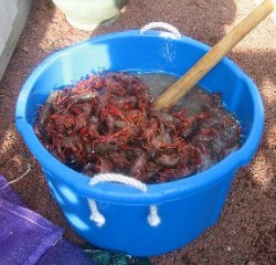 Stirring Purged Crawfish