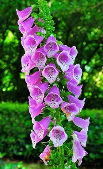 fall flower arrangements wth hay rasng kds and.htm foxglove flower alert  whats cooking america  foxglove flower alert  whats cooking
